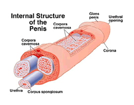 internal structure of the penis